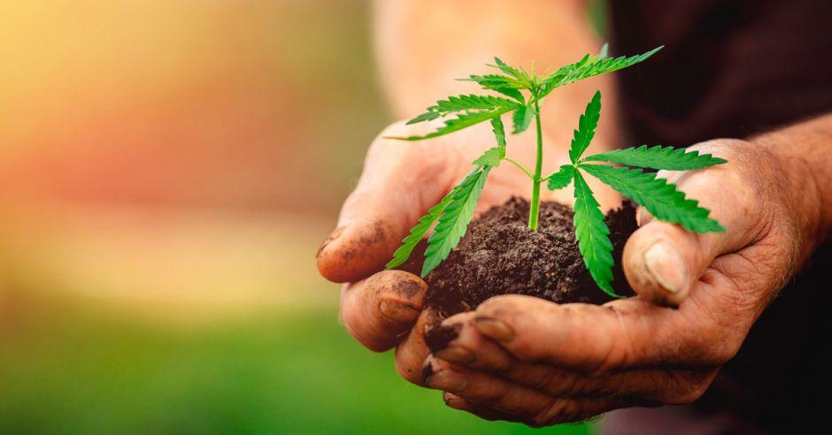 El cáñamo, una alternativa para sustituir cultivos ilícitos