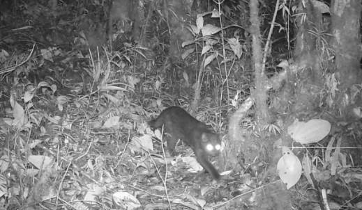Registrado por primera vez un tigrillo melánico en el Parque Nacional Natural Pisba